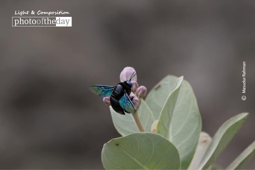 The Carpenter Bee, by Masudur Rahman