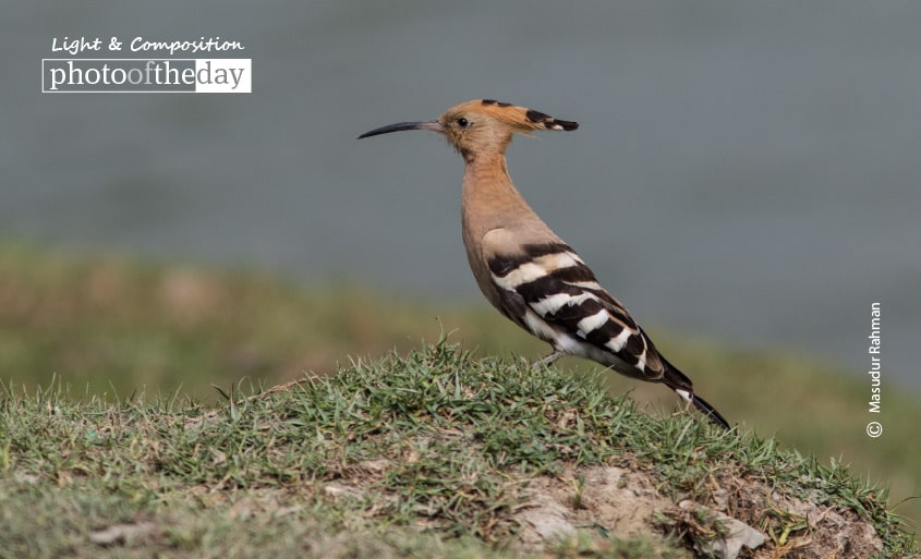 Hoopoe – The Beauty, by Masudur Rahman