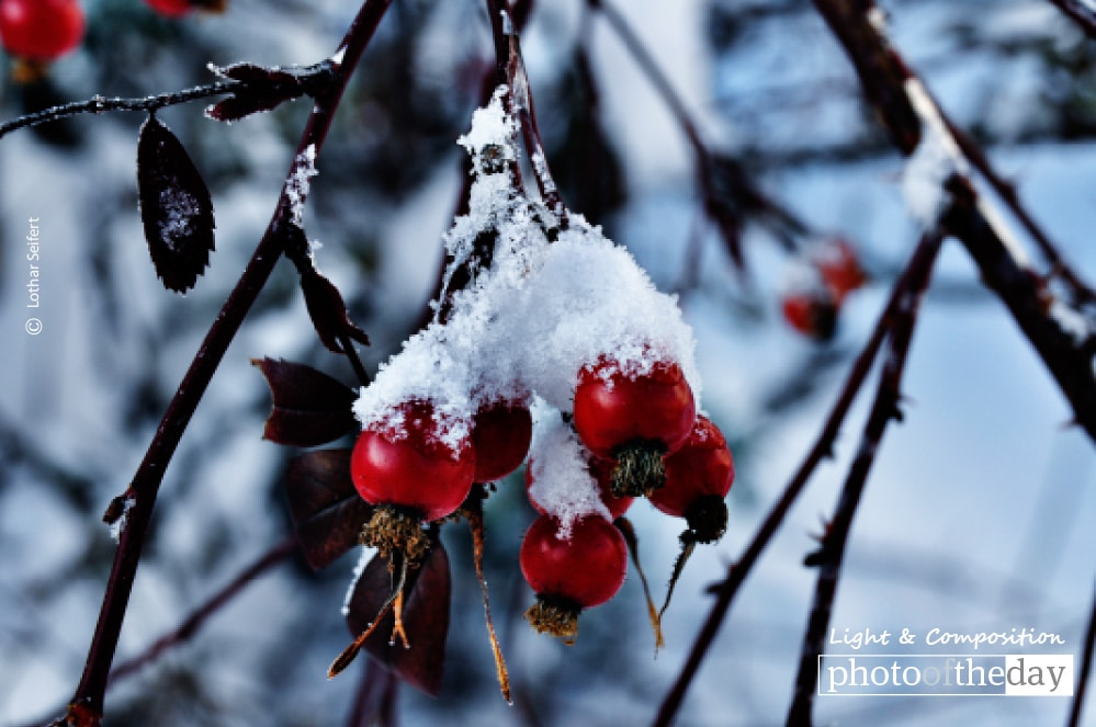 Snow on Rosehips, by Lothar Seifert
