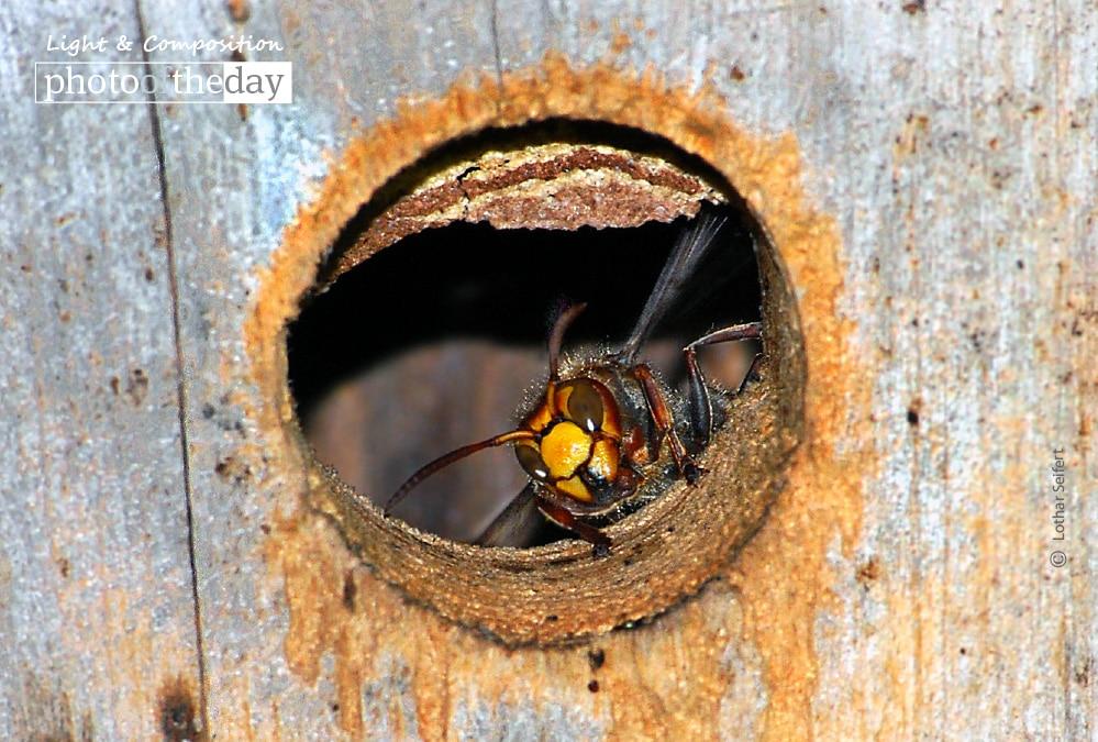 Hornets in My Garden, by Lothar Seifert