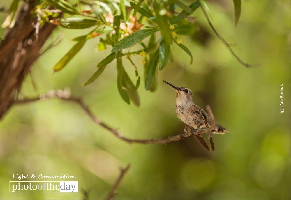 Hummingbird, by Ana Encinas