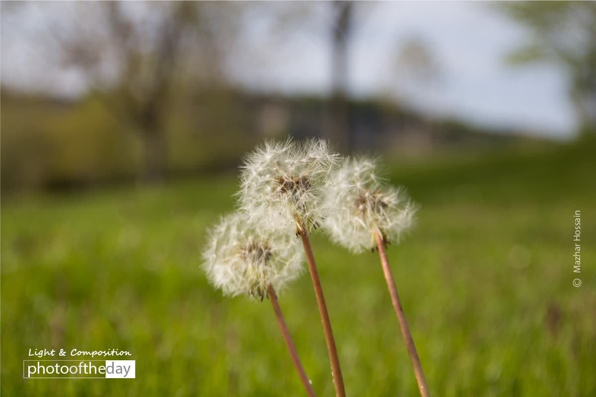 The Dandelions, by Mazhar Hossain