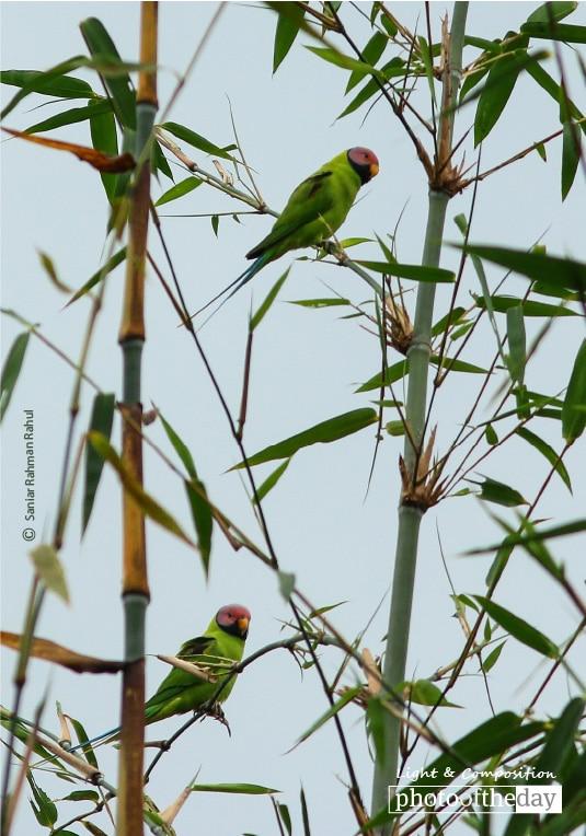 Blossom-headed Parakeet, by Saniar Rahman Rahul