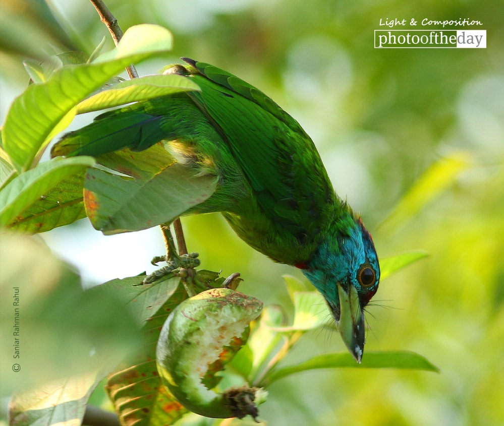 Blue Throated Barbet, by Saniar Rahman Rahul