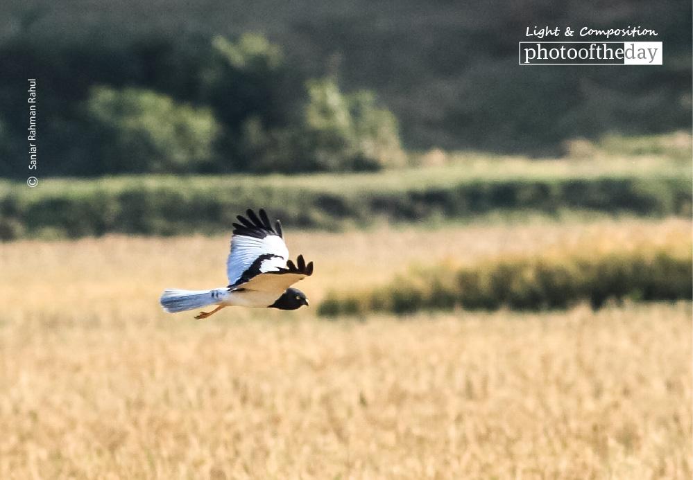 Pied Harrier, by Saniar Rahman Rahul