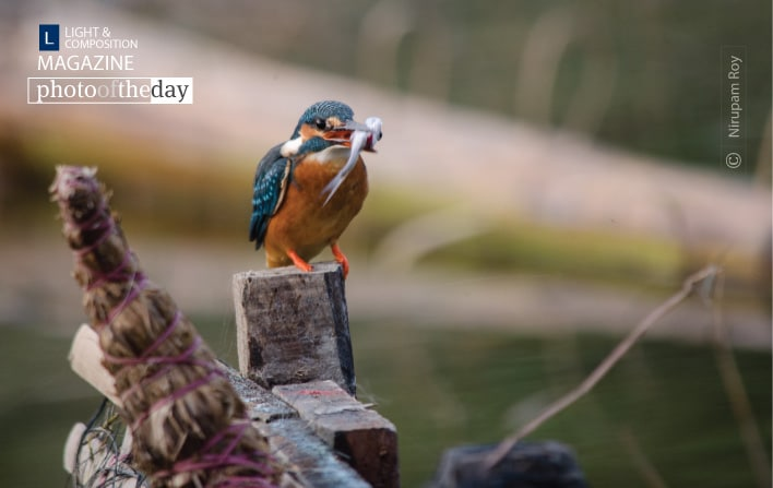 Kingfisher on the Perch, by Nirupam Roy