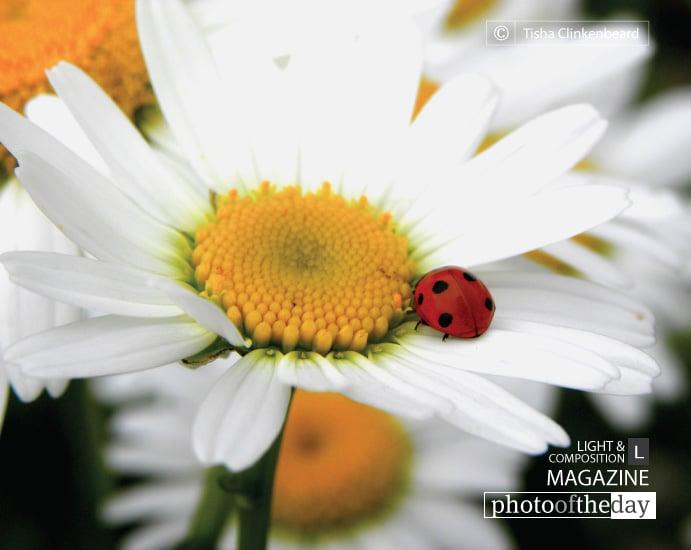 Ladybug and a Daisy, by Tisha Clinkenbeard