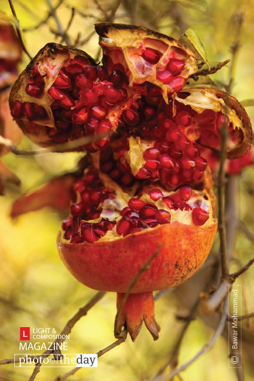 Pomegranate of Kurdistan, by Bawar Mohammad