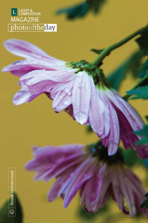 Chrysanthemum in the Rain, by Bawar Mohammad