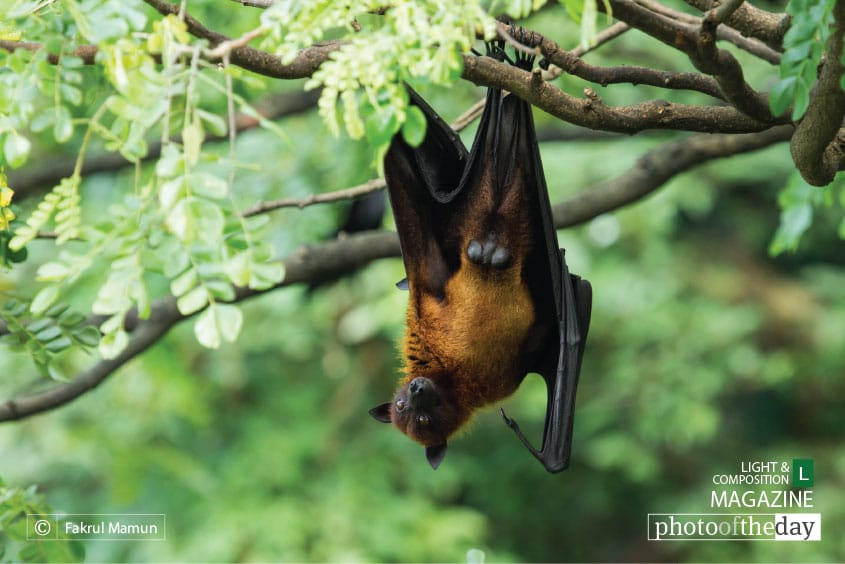 Indian Flying Fox, by Fakrul Mamun