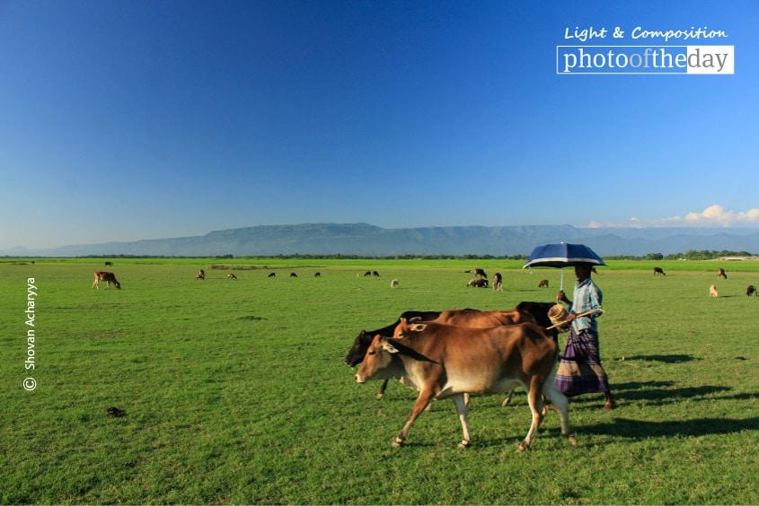 Grazing Cows in Heaven, by Shovan Acharyya