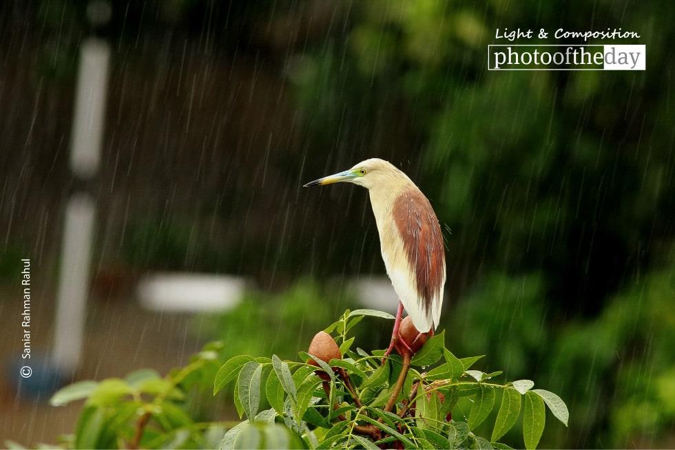Indian Pond Heron, by Saniar Rahman Rahul