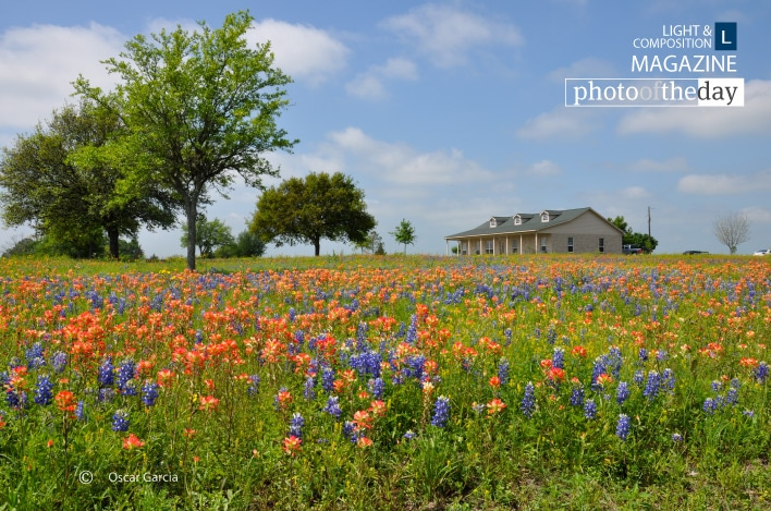 Bluebonnets Texas, by Oscar Garcia