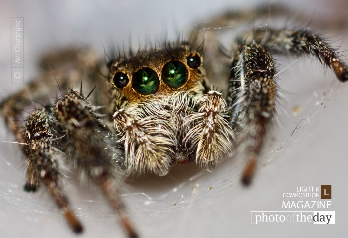 Jumping Spider, by Avi Chatterjee