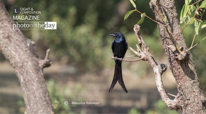 Beautiful Black Drango, by Masudur Rahman