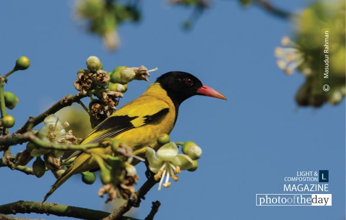 Black-hooded Oriole, by Masudur Rahman