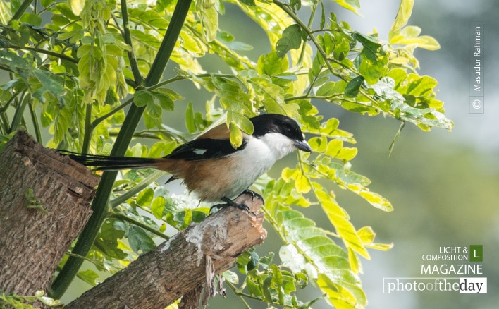 Long-tailed Shrike, by Masudur Rahman