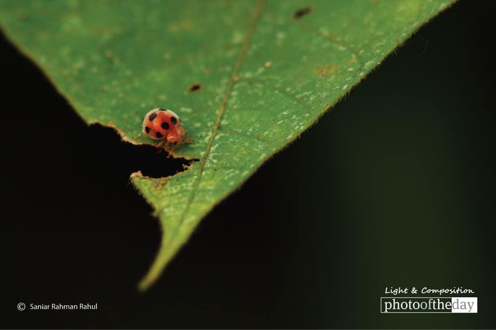 Ladybug, by Saniar Rahman Rahul