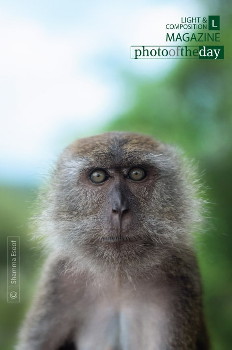 Female Macaque, by Shamma Esoof