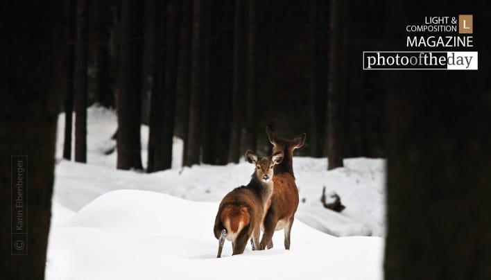 Red Deer, by Karin Eibenberger