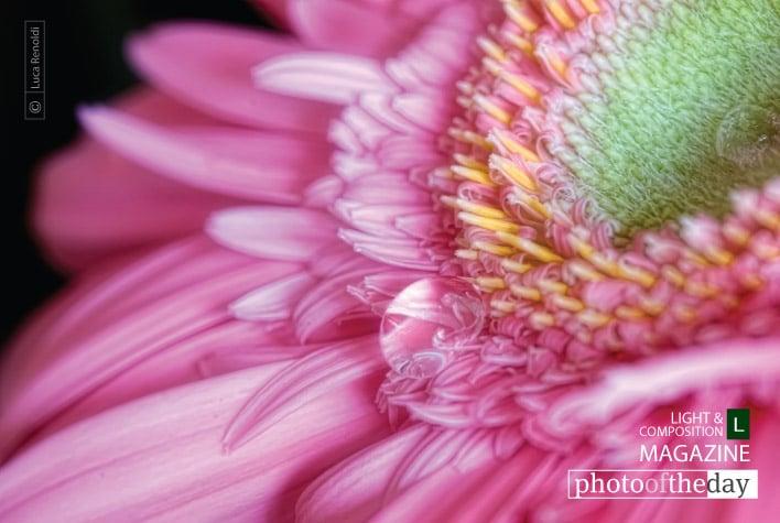 Pink Gerbera, by Luca Renoldi