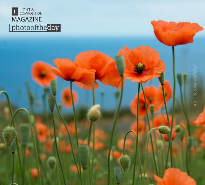 Poppy, by Rob van der Waal