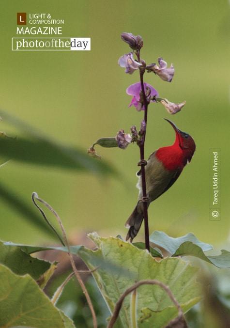 Crimson Sunbird, by Tareq Uddin Ahmed