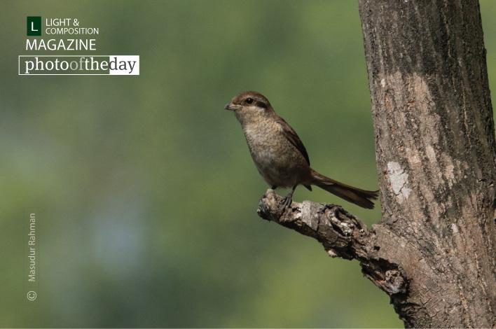 Curious Brown Shrike, by Masudur Rahman