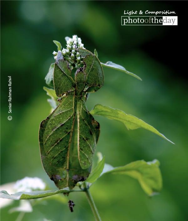 Phylliidae, by Saniar Rahman Rahul