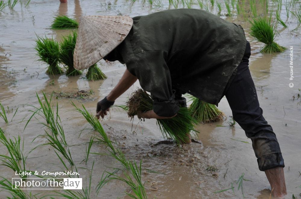 Planting Rice, by Ryszard Wierzbicki