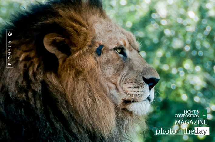 Just Lion Around, by Victor Howard