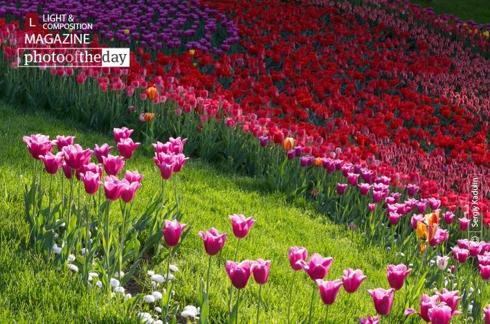 Tulips in the Sunrise, by Sergiy Kadulin