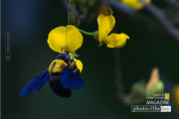 The Blue-winged Bee, by Shahnaz Parvin