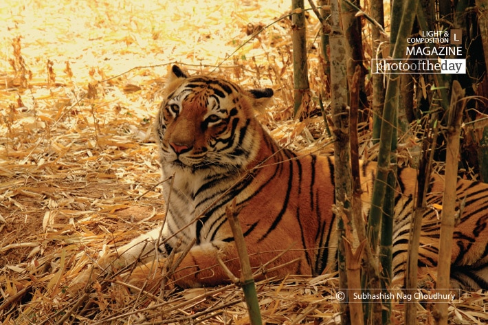 The Royal Look, by Subhashish Nag Choudhury
