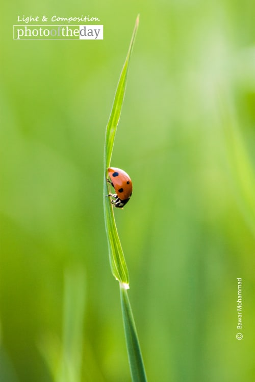 A Beautiful Ladybug, by Bawar Mohammad
