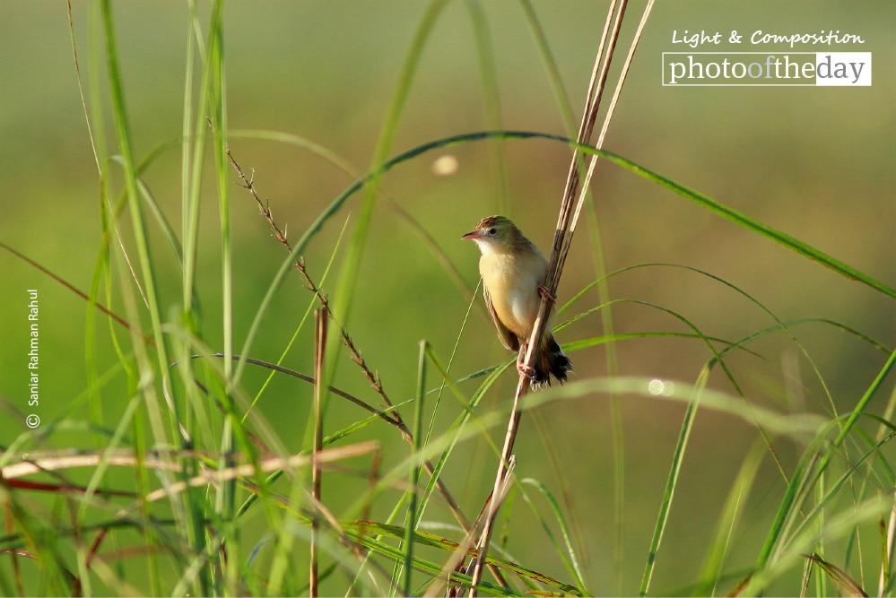 The Zitting Cisticola, by Saniar Rahman Rahul