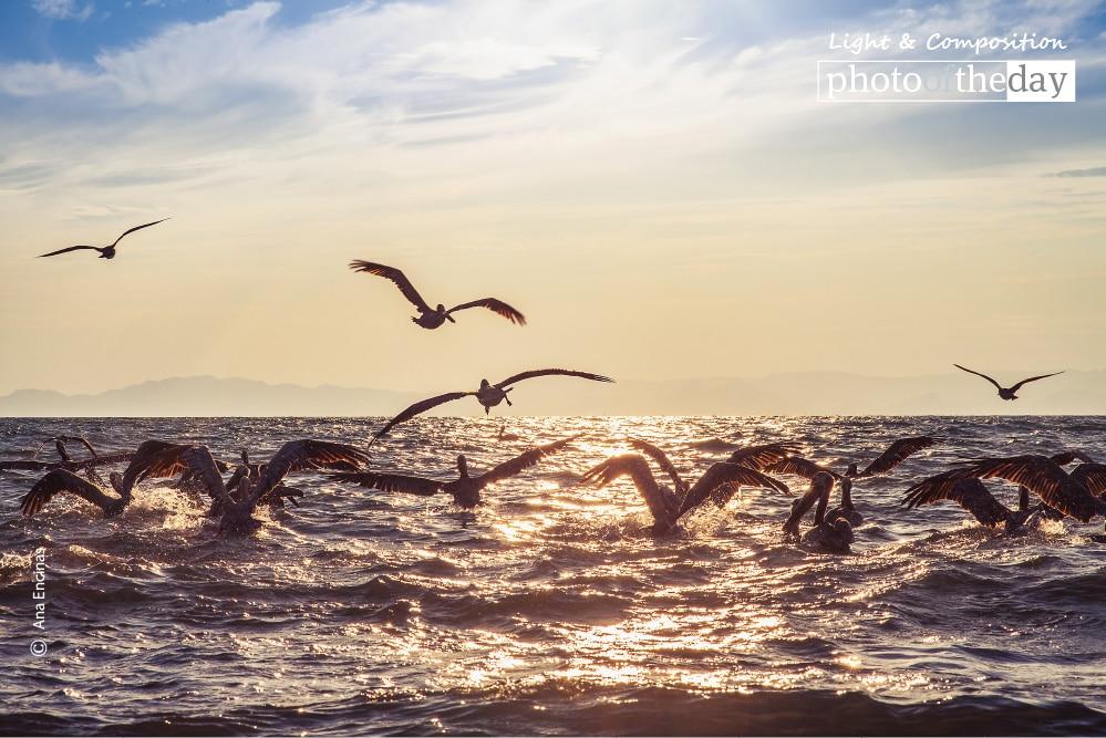 Pelicans, by Ana Encinas