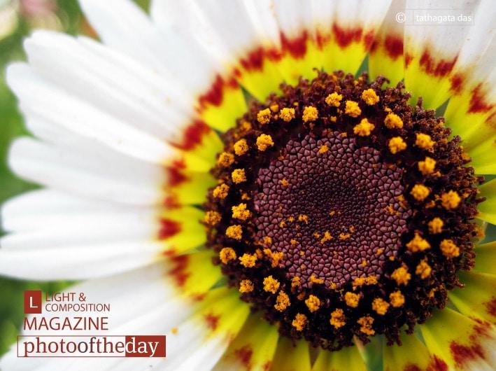 Cosmos Blossom, by Tathagata Das