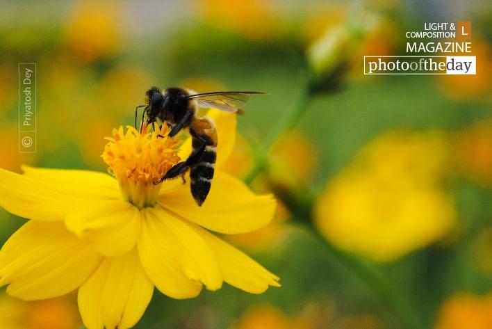 The Royal Bee, by Priyatosh Dey