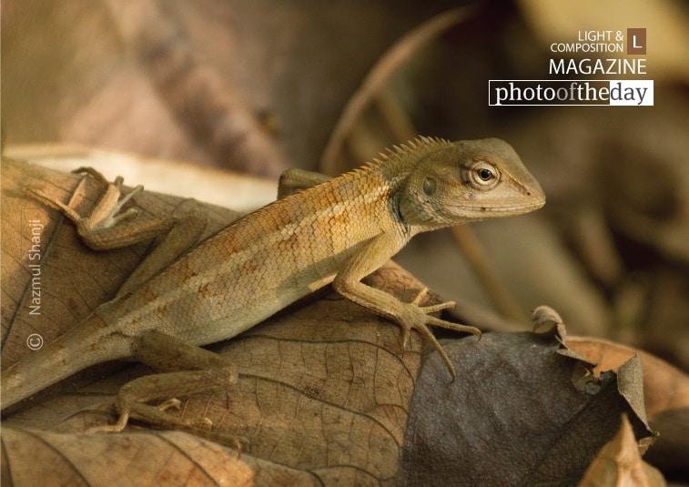 Changeable Lizard, by Nazmul Shanji