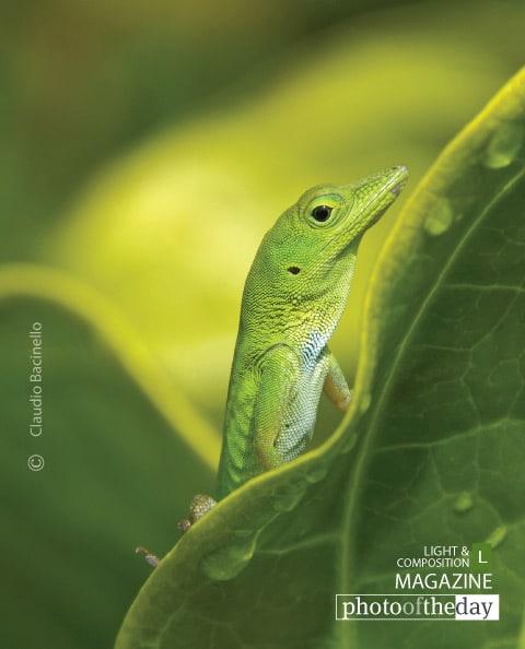 Hispaniolan Green Anole, by Claudio Bacinello