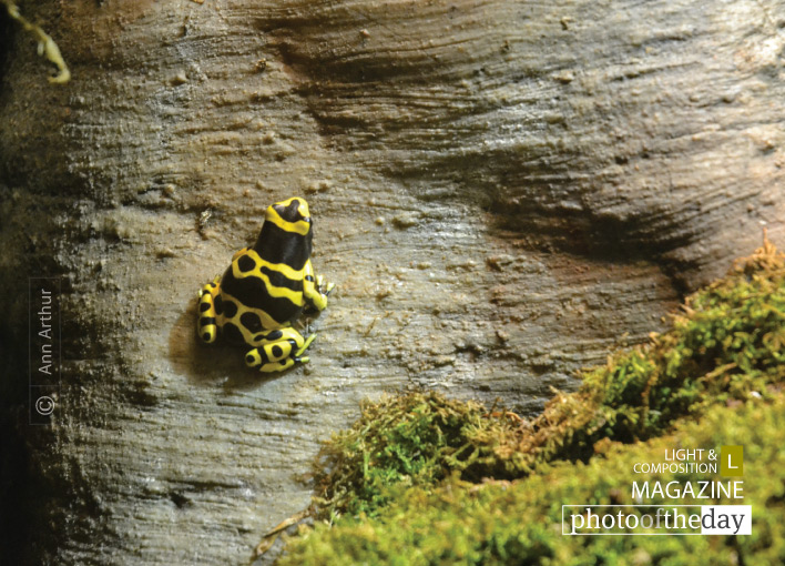 Yellow-banded Poison Dart, by Ann Arthur