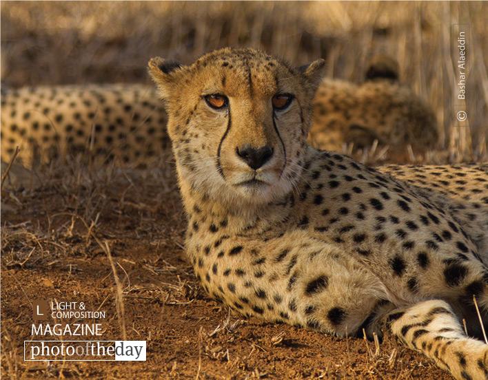 Cheetah Stare, by Bashar Alaeddin