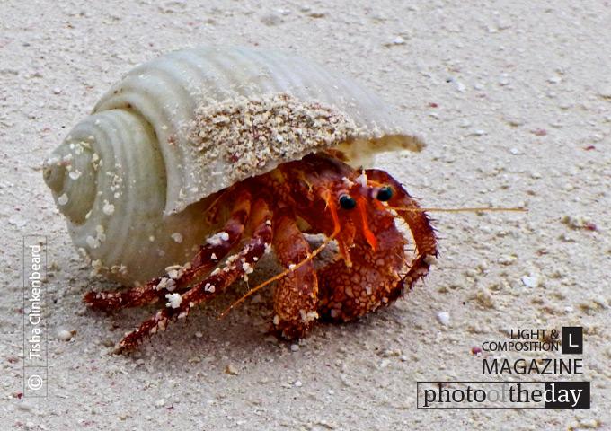 Crab in North Caicos, by Tisha Clinkenbeard