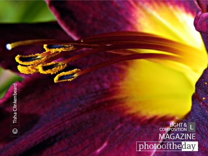 Dark Lily, by Tisha Clinkenbeard