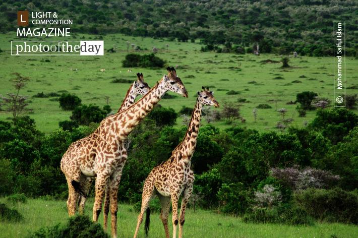 Beauties of Maasai Mara, by Mohammad Saiful Islam