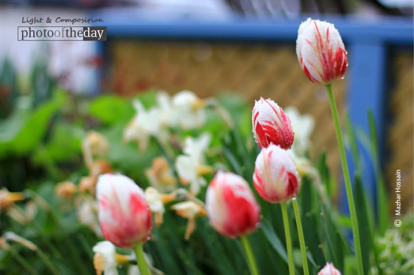 Red and White, by Mazhar Hossain