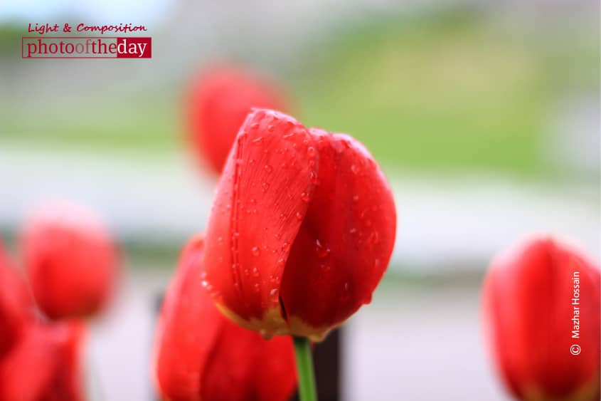 Red Blossoms, by Mazhar Hossain