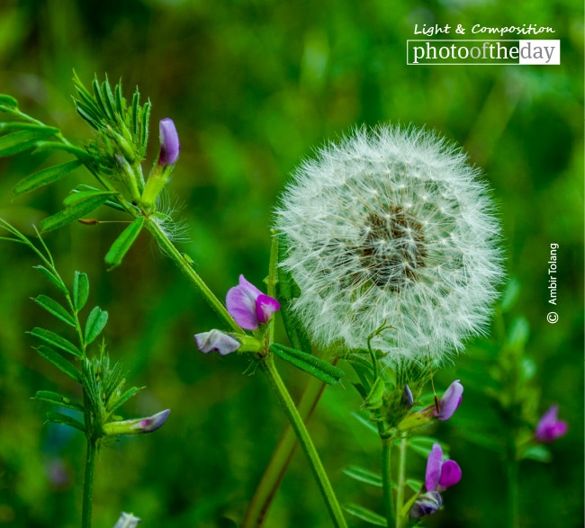 Beautiful Dandelion, by Ambir Tolang