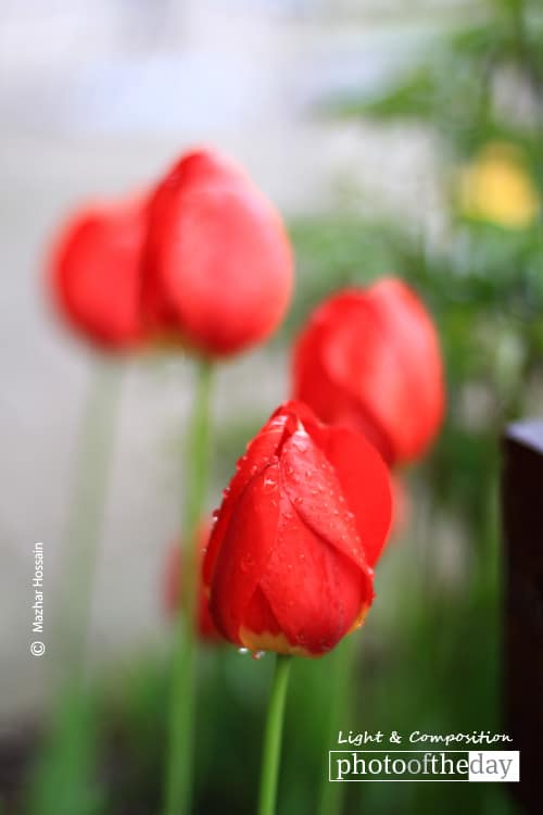 Red Tulips, by Mazhar Hossain